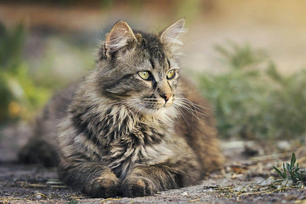 La toxoplasmosis y el gato