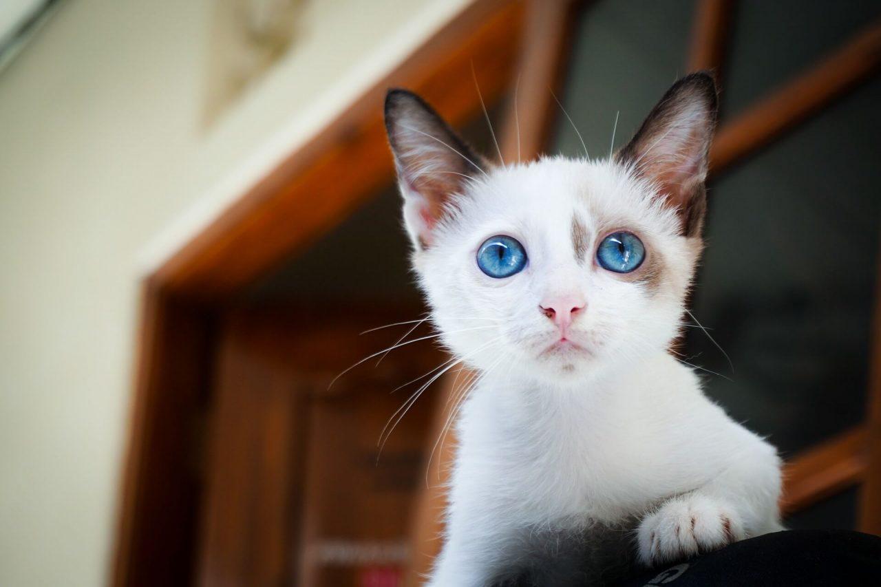 Diarrea crónica en gatos
