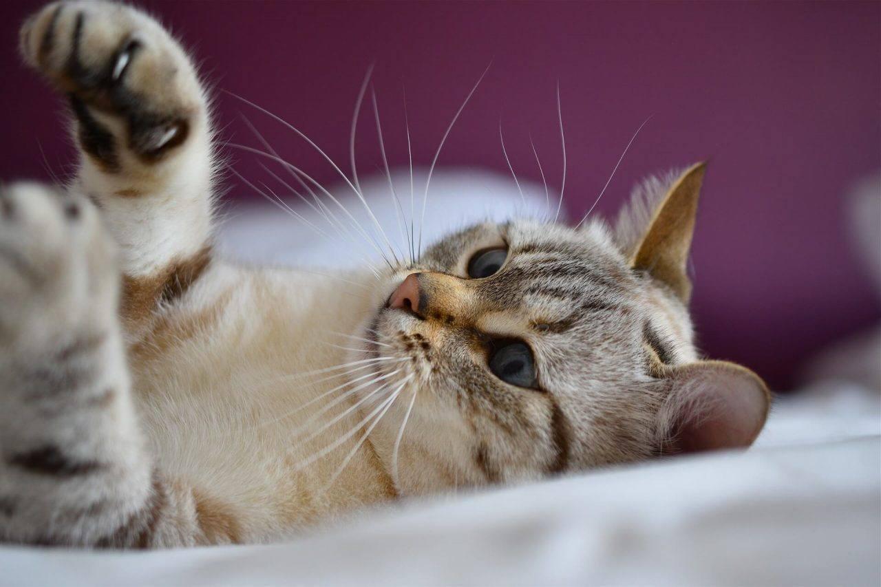 Comprender el estado de ánimo de los gatos