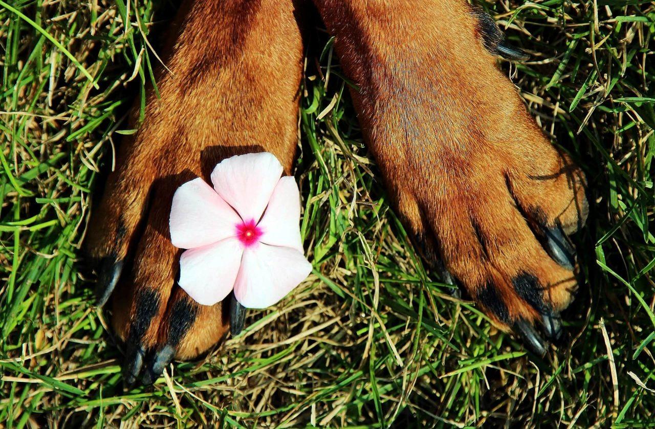 Abrasión plantar de los perros