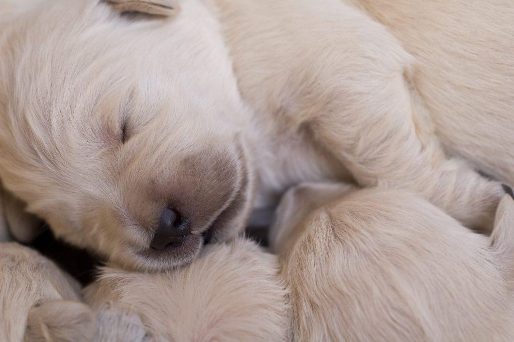 la lactancia en perras
