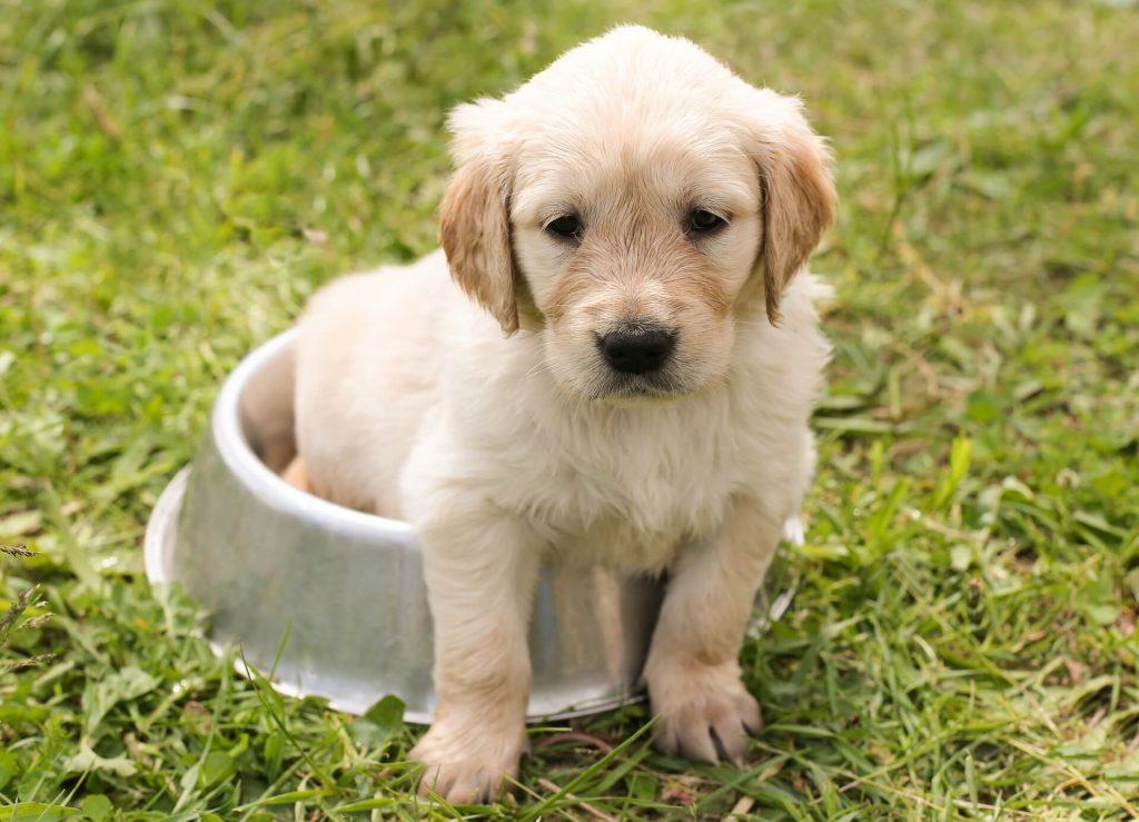 Desarrollo cachorros del perro