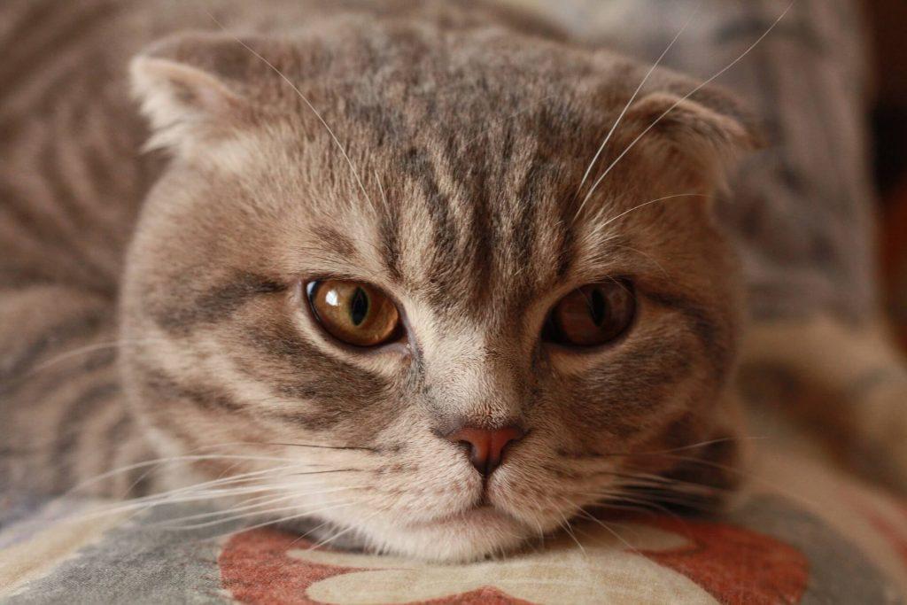 sarna notoedrica felina