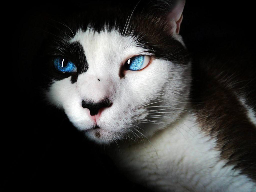 enfermedades viricas en felinos