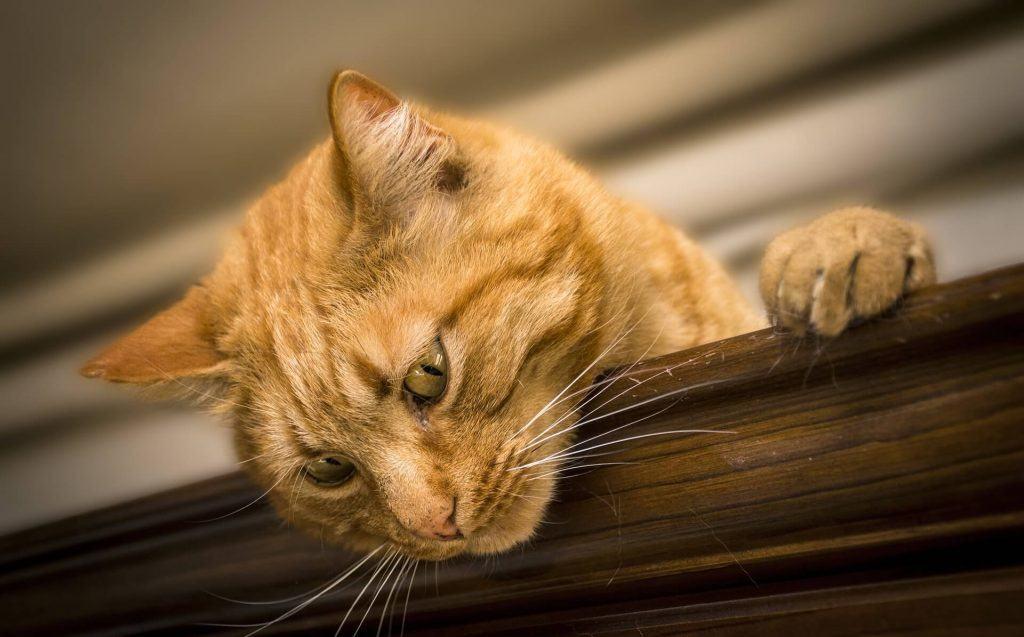 ulceras herpeticas en felinos