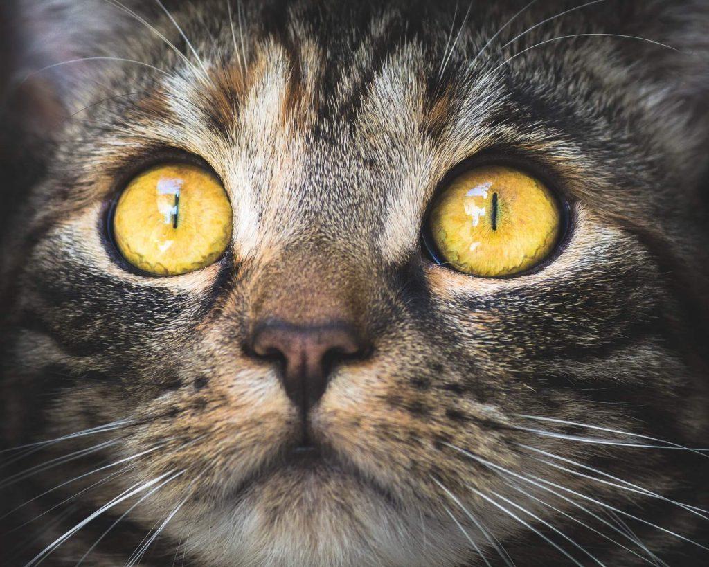 tumores mamarios felinos