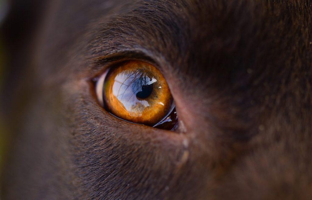 gusano oriental del ojo