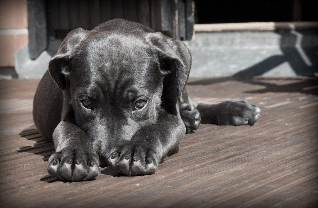 glandulas anales en perros