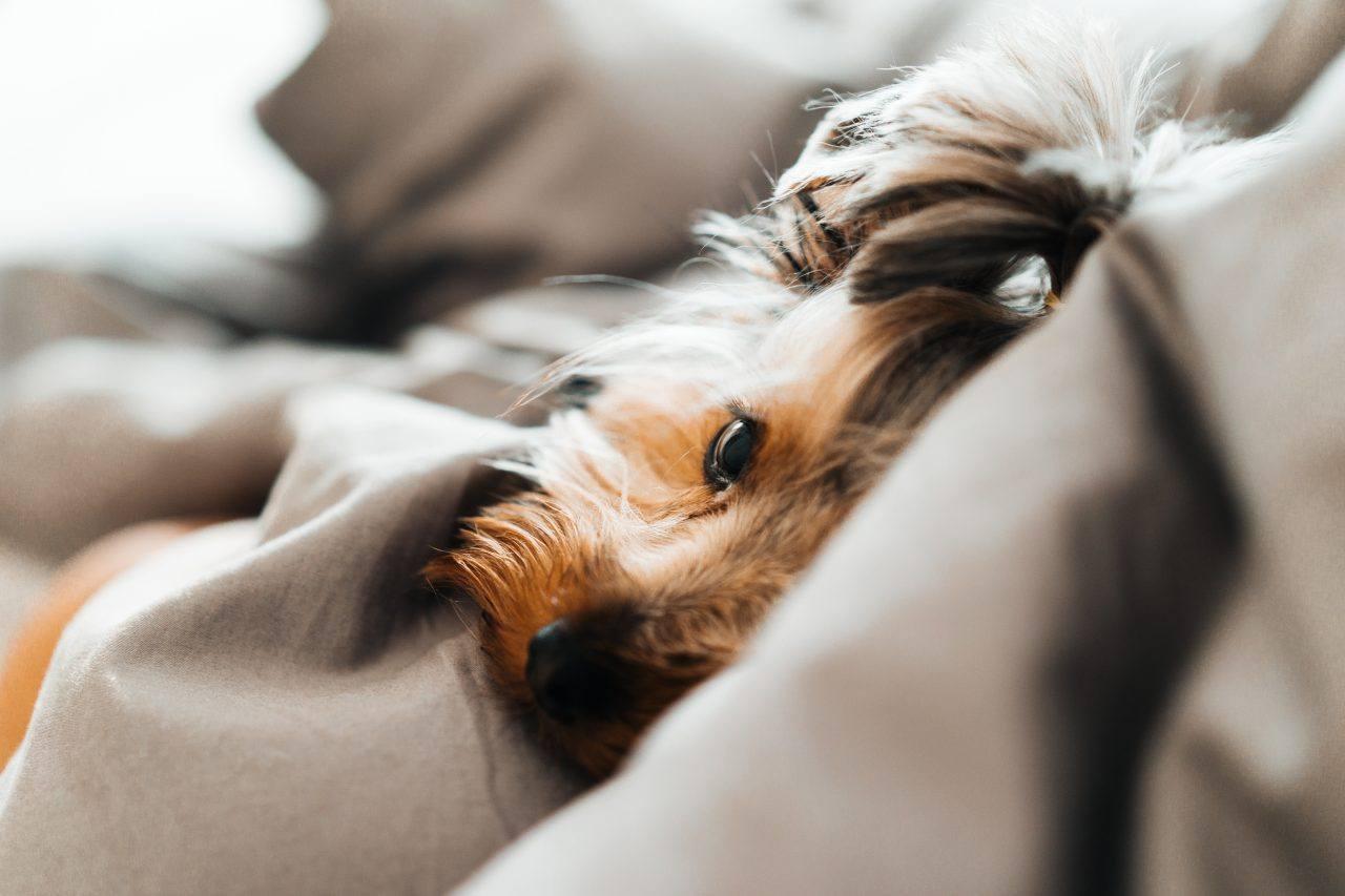 ¿Como se si mi gato o perro tiene fiebre?