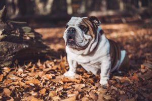 Cuidados para mi bulldog II
