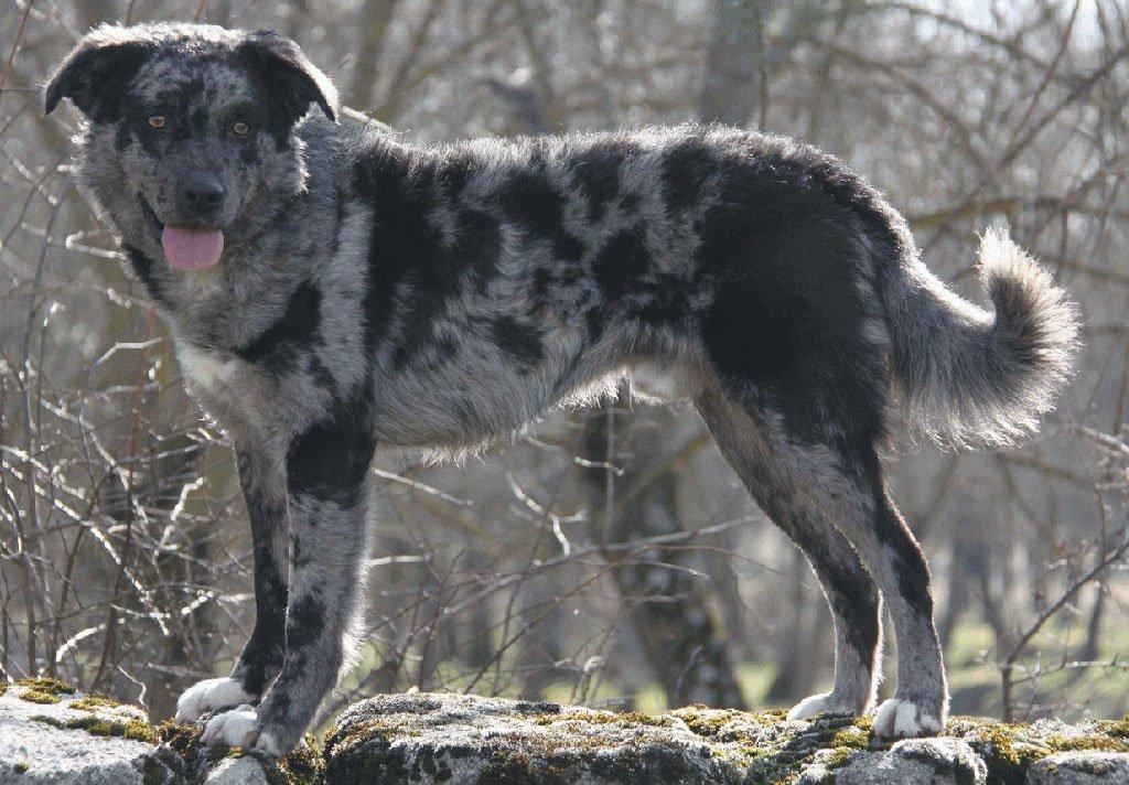 carea leones-razas perros-mejor clinica veterinaria