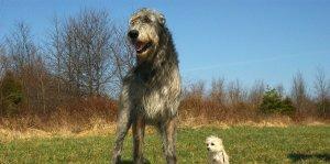 lobero irlandes-irish-wolfhound