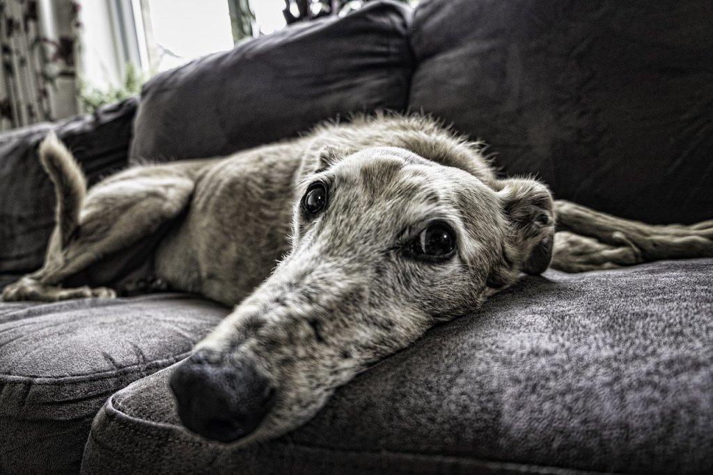 disfunción cognitiva en perros-clinica veterinaria en León-ya soy mayor-demencia senil en perros-neurología veternaria en León