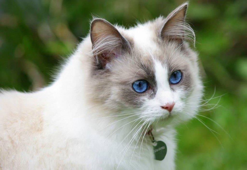ragdoll-gatos-medicina felina en León-clinica veterinaria María J. cabeza
