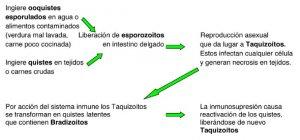 la toxoplasmosis y el gato 2