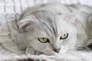 como saber si un gato tiene fiebre
