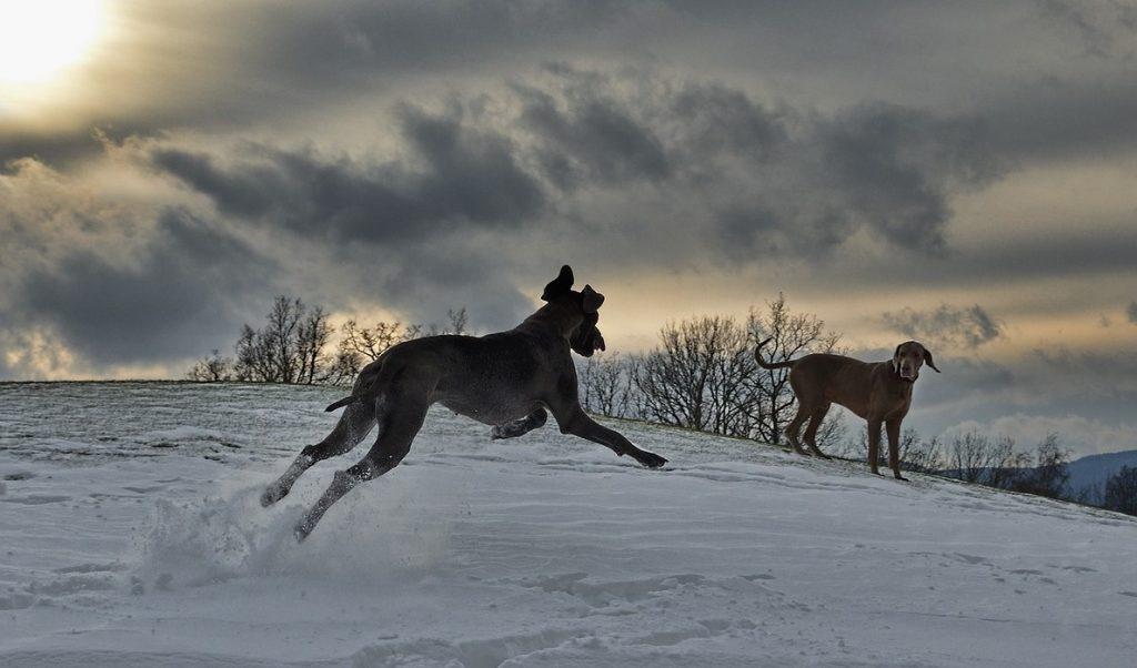 perro dominante