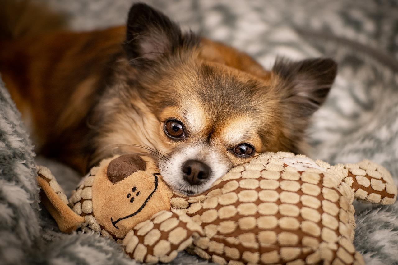 El Chihuahua