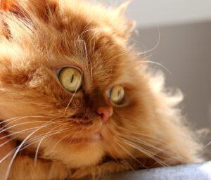 medicina felina en leon-gato persa leon-gatos leon-veterinario de gatos-especialistas en gatos