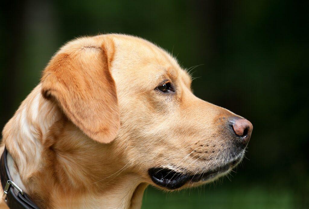 perro labrador-clinica veterinaria en leon- maria j. cabeza- medicina interna veterinaria en leon