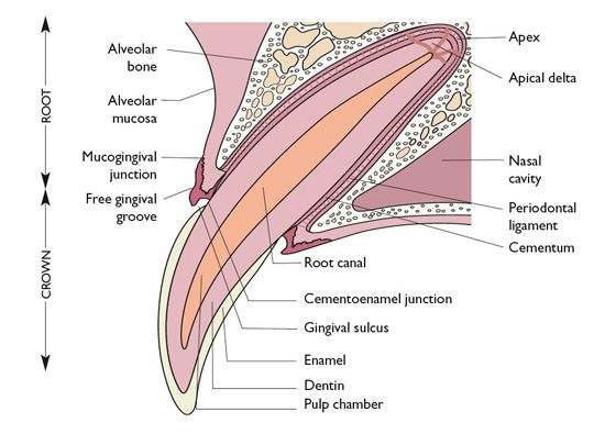 anatomia dental mascotas-clinicaveterinaria-mariajcabeza-leon-odontologiaveterinaria